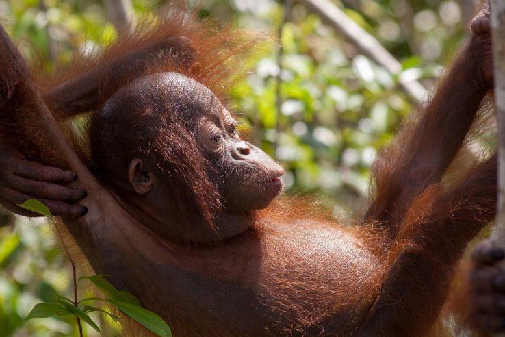 Park orangutana